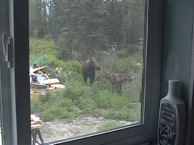 Moose in Yard
